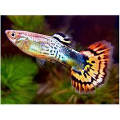 Guppies are very colourful and beautiful fish to keep, available at Kellyville Pets!