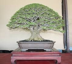 celtis bonsai - Google Search