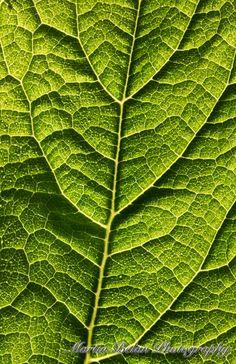 Backlit leaf, Yosemite National Park