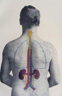 1900s Medical Diagram. Scientific Print. Human Anatomy. Kidneys. Back. 1908.
