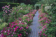 Rosenbeet mit Stauden gestalten » Diese Kombinationen funktionieren gut Beets, Sidewalk, Plants, Delphinium, Climbing Roses, Poisonous Plants, Rose Varieties, Shade Perennials, Side Walkway