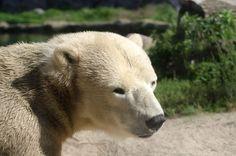 Eisbär: Zoom Erlebniswelt Gelsenkirchen