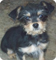 Mtn Grove, MO - Yorkie, Yorkshire Terrier/Poodle (Toy or Tea Cup) Mix. Meet Theodore a Puppy for Adoption.
