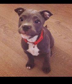 Cutie! #pitbull