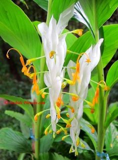 Globba winitii White Dragon, commonly called white dancing lady ginger is a tropical, rhizomatous plant and belongs to the ginger family (Zingiberaceae). The tropical ginger plant is native to Thailand and also comes with purple flowerbracts, then called Globba winitii Ruby Queen or purple dancing lady ginger.