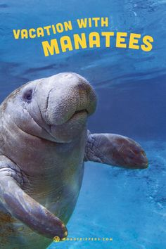 Swim with manatees and help fund their protection at the same time.