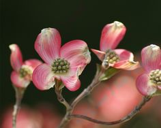 Dogwood Flowers 8x10 by www.ILoveThatPicture.etsy.com Taken at Taltree in Valparaiso.  Watermark will NOT appear on your picture.
