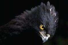 Gavião-pega-macaco (Cathartes aura): aparece em todo o litoral brasileiro e Mata Atlântica