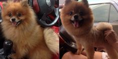 Dogs before and after their Spring Haircuts before and after Dog Haircuts Pomeranian Facts, Pomeranian Haircut, Baby Pomeranian, I Love Dogs, Cute Dogs, Awesome Dogs, Before And After Haircut, Pom Dog, 15 Dogs