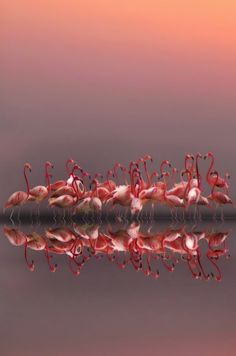 Flamingo Reflection ~ Pink is beautiful ~ Pink Roses, Babies, sunsets, sunrises, Floyd...