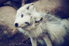 Blue and brown eyed wolf