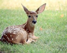 Nature Animal Photography White Tailed Deer Fawn by DesignByJV