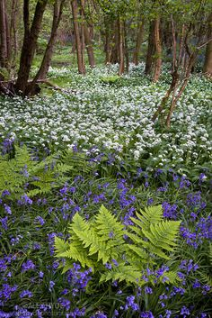 Wild garlic / Ramsons {Allium ursinum} and bluebells {Endymion nonscriptus} flowering in deciduous woodland, Peak District National Park, Derbyshire, UK, May