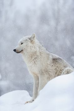 A lot of good souls have been lost during the war with Bran the Raven God, including Kai Canarbis' close friend, the white wolf, Ioki. So how is it a wolf that looks a lot like Ioki still appears, even after he's been buried? Wolf Love, Arktischer Wolf, Wolf Pup, Beautiful Creatures, Animals Beautiful, Cute Animals, Wild Animals, Wolf Spirit, Spirit Animal