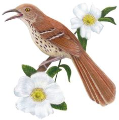 Georgia State Bird and Flower: Brown Thrasher / Toxostoma rufum Georgia Tattoo, Brown Thrasher, Cherokee Rose, State Birds, Great Pictures, Love Birds, Pretty Flowers, Body Art Tattoos