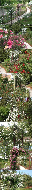 Roseto Mira a Parco Galvani Pordenone