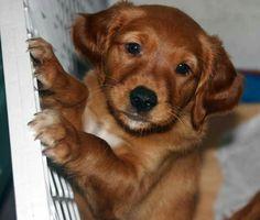 Dark golden puppy!!