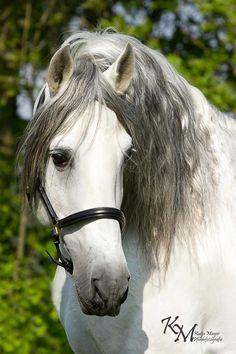 © Katia Mayer. Caballo Azteca (2). Fue desarrollada en 1972 ya que se pensaba que México, el país donde nació la charrería, necesitaba su propio caballo de raza.