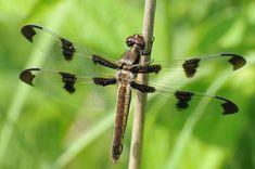 Google Image Result for http://2.bp.blogspot.com/-BoQnBCJhjqM/TWCCC-1NuuI/AAAAAAAAA7I/BNZGeTxa1XQ/s1600/dragonfly1.jpg