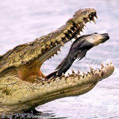 126 Best Gators Crocs Images Crocs Crocodile Skull