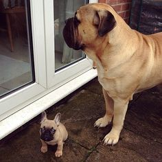 Baby French Bulldog and a Mastiff, via Batpig & Me Tumble It.