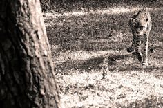 #charentemaritime #zoo #lapalmyre #guepard