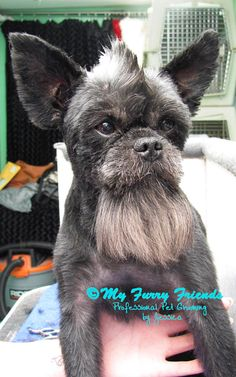 Watch out Marty...if Dad takes you to the groomers next time- you may come home like this!