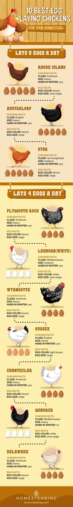 20170616-homesteading-10-best-egg-laying-chicken-1.jpg (1003×6933)