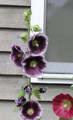 25 Rare Purple White Hollyhock Seeds Perennial Giant Flower Garden Plant Spring Summer Fall Holly Hock Blooms Yard Bright Blooms Tall by ToadstoolSeeds on Etsy Growing Hollyhocks, Hollyhocks Flowers, Beautiful Flowers Garden, Pretty Flowers, Cut Flowers, Purple Flowers, Spring Flowers, Garden Shrubs, Garden Plants