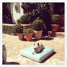Boxwood in clay pots - Meet The French Bulldog With Better Taste Than You  - Veranda.com