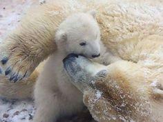 Polar Bear Cub Meets the Snow - ZooBorns