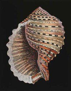 Schöne Muschelschale von coleen Beautiful Conch Shell by coleen - Sealife Jewel Of The Seas, Seashell Art, Starfish, Shell Collection, Shell Beach, Ocean Creatures, Shell Crafts, Patterns In Nature, Nautilus