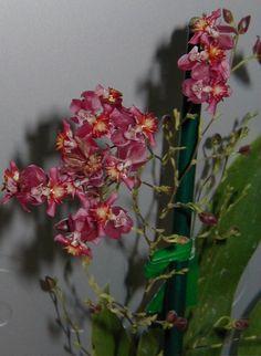 Oncidium Orchids | 'Pinkie' (Oncidium cheirophorum x Oncidium ornithorhynchum) - Orchid ...