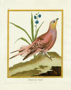 du senegal - high resolution image from old book. Vintage Bird Illustration, Illustration Art, Bird Artists, Oui Oui, Butterfly Art, Vintage Birds, Print Artist, Botanical Art, Natural History