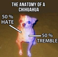 100 Chihuahua Memes That'll Make You Laugh Harder Than You Should Funny Animal Pictures, Funny Animals, Cute Animals, Baby Animals, Dog Memes, Funny Memes, Hilarious, Dog Funnies, Dog Humor