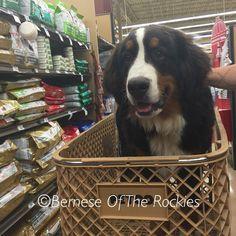 Shopping! #puppiesofinstagram #aww #cute #puppies #petco @petco @bernesedaily #berneseoftherockies