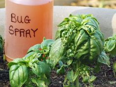 Stop bugs from eating more of your garden then you do with this all natural bug spray.