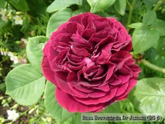 @HortusLoci What about Rosa 'Souvenir du Dr Jamain'? One of the most lovely red roses ever.