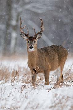 By Mike Lentz-Snowy stare. By Mike Lentz Snowy stare. By Mike Lentz - Whitetail Deer Pictures, Deer Photos, Beautiful Creatures, Animals Beautiful, Cute Animals, Deer Photography, Big Deer, Deer Family, Whitetail Bucks