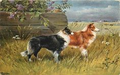 Rough Coat Collie Dogs in Field with Lilacs