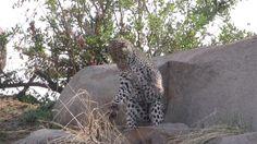 Леопард и ее игрушка