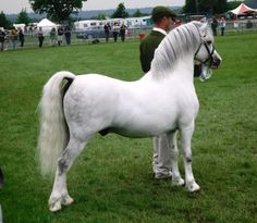 Welsh A- Islyn Buzbee - my grandfather worked ponies like this one, I have this exact same picture of him