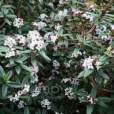 Daphne tangutica - Thymelaeaceae