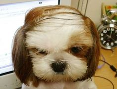 Cute dog with comb over.