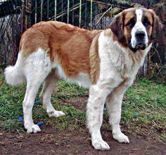 St. Bernards are just cool.