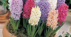 vonios vazoninis gėlės