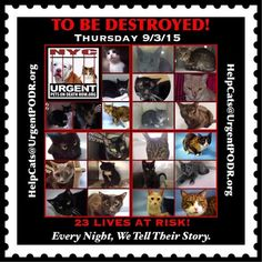NYC **23 Wonderful Cats TO BE DESTROYED 09/03/15 - - Info TO BE DESTROYED - Click for info & Current Status: http://nyccats.urgentpodr.org/montage-071215/
