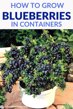 It's pretty easy to grow blueberries in containers with this simple growing guide. As long as you keep soil acidic enough, you should have berries soon. # container Gardening How To Grow Blueberries In Containers