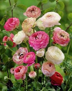 Ranunculus Flowers Do you garden partly to provide fresh cut flowers whenever the urge strikes? Then make room ranunculus Incred.