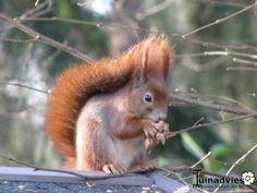 Het blijft genieten en verrassend hoeveel eekhoorntjes er komen sinds we ze eten geven. #eekhoorn